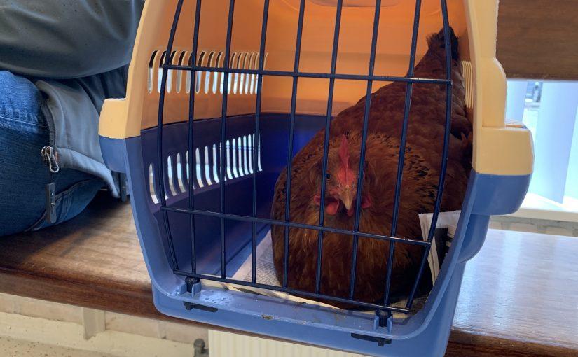 Zo is mijn kip hersteld van cloaca prolaps