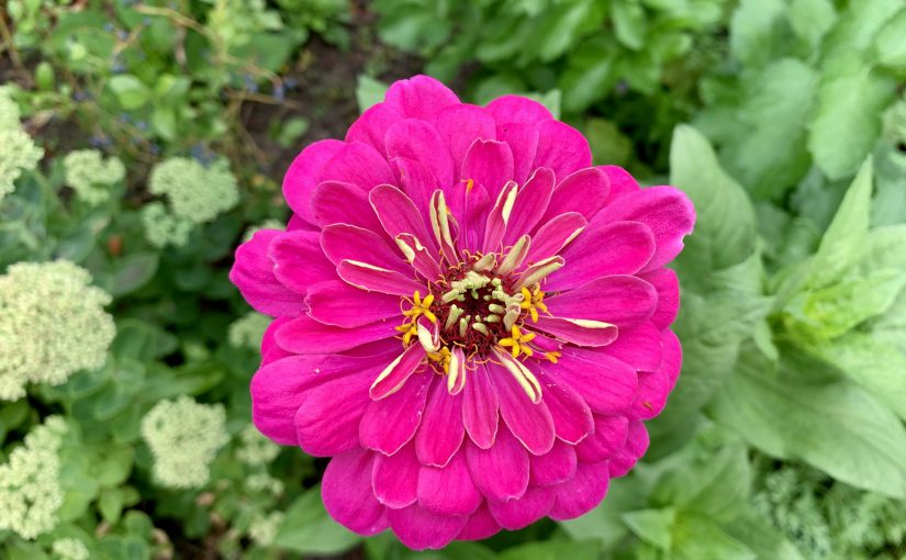 Plant in the picture: zinnia