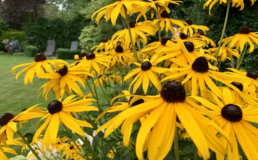 Altijd zon in de tuin dankzij rudbeckia
