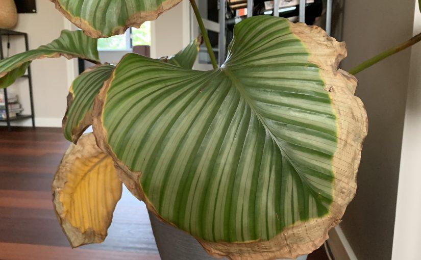 Calathea orbifolia met bruine bladeren? Zorg voor afwatering!